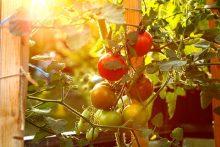 Rajčata na balkóně