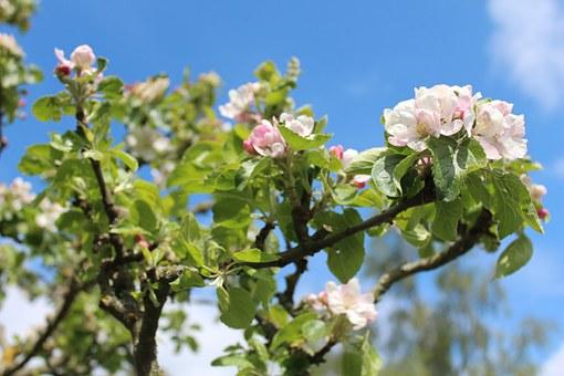 Ochrana ovocných stromů před sviluškami, škůdci