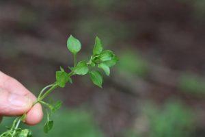 Jedlý plevel brzy na jaře